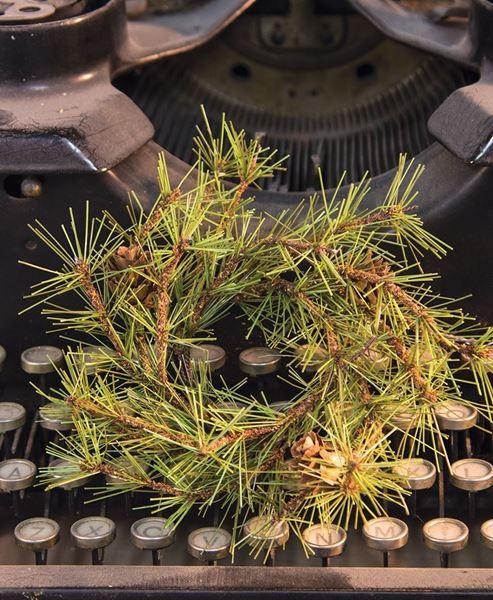 Cypress Pine Taper Ring