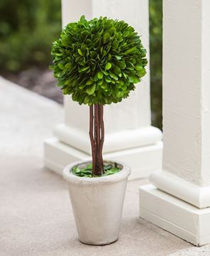 Boxwood Topiary, 16""