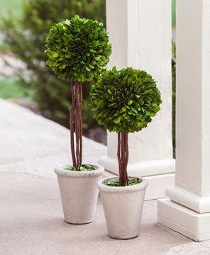 """Boxwood Topiary, 16"""""""