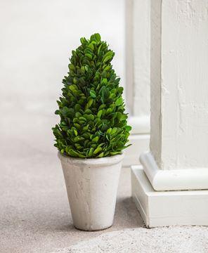"""Boxwood Cone Topiary, 13½"""""""