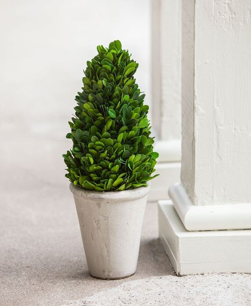 Boxwood Cone Topiary, 13½""