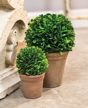 Picture of Potted Boxwood Ball - 6""