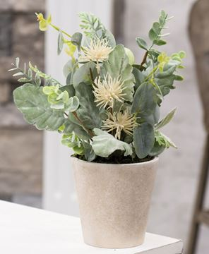 Picture of Potted Aberdeen Sea Holly, 11""