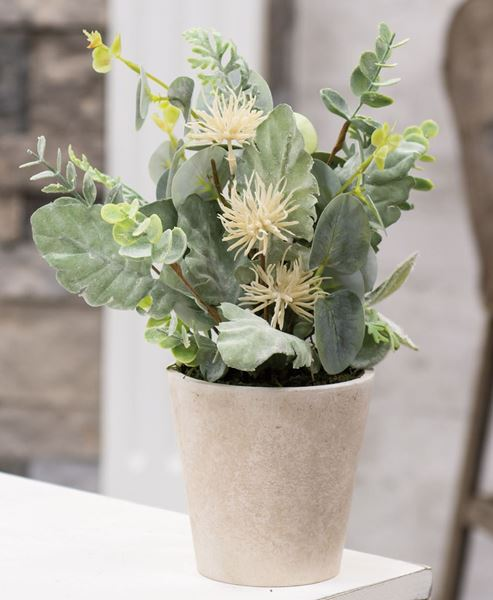 """Picture of Potted Aberdeen Sea Holly, 11"""""""