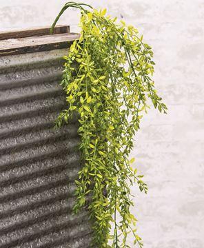 Picture of Lemon Beauty Hanging Bush