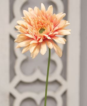 Picture of Blooming African Daisy Stem, Dark Pink
